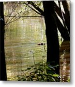 Tree Bowing To Swimming Beaver  Metal Print