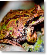 Tree Frog Close Up Metal Print by Nick Gustafson
