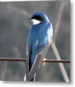 Tree Swallow Metal Print