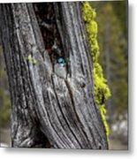 Tree Swallow Metal Print