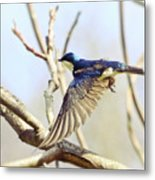 Tree Swallow In Flight Metal Print