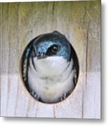 Tree Swallow In Nest Box Metal Print