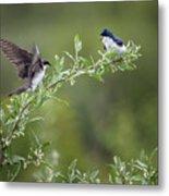 Tree Swallows Metal Print