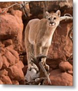 Treed Mountain Lion Metal Print