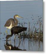 Tri-colored Heron And Glossy Ibis Metal Print