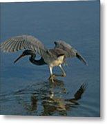 Tri Colored Heron Fishing Metal Print