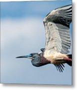 Tri-colored Heron In Flight Metal Print