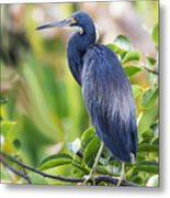 Tri-colored Heron On A Branch  Metal Print