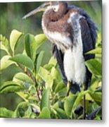 Tri-colored Heron On Guard  Metal Print