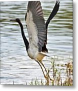 Tri Colored Heron Takeoff Metal Print