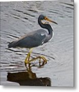 Tri-colored Heron Wading In The Marsh Metal Print