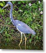 Tricolored Heron Hunting Metal Print