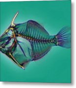 Triggerfish Skeleton, X-ray Metal Print by D. Roberts
