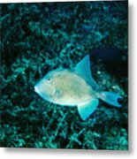 Triggerfish Swimming Over Coral Reef Metal Print