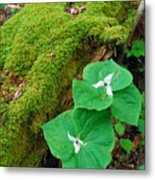 Trillium Pair By Mossy Log Metal Print