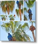 Trimming The Palm Trees Metal Print