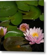Trio Of Pink Lotus Waterlilies Metal Print