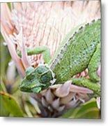 Trioceros Jacksonii - Jackson's Chameleon - Maui Hawaii Metal Print