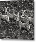 Trophy Rams Metal Print