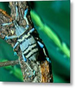 Tropical Blue Weevil Metal Print