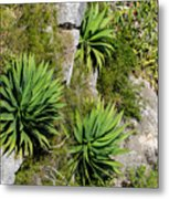 Agave Plants On Rocky Slope Metal Print