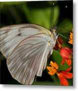 Tropical White Butterfly Metal Print by April Wietrecki Green