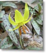 Trout Lily Wildflower - Erythronium Americanum Metal Print