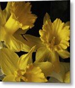 Trumpet Daffodils Metal Print