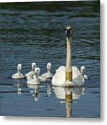 Trumpeter Swan With Cygnets Metal Print