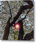 Trunk Of A Cherry Tree Blooming With White Flowers Metal Print