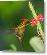 Tufted Coquette Metal Print
