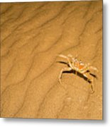 tufted ghost crab Ocypode cursor on sand Metal Print
