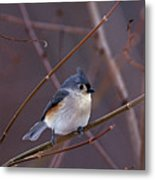 Tufted Titmouse In Winter Metal Print