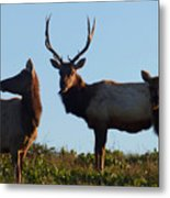 Tule Elk Bull And Harem Metal Print