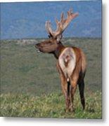 Tule Elk Bull Bugling Metal Print