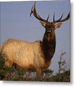 Tule Elk - Tomales Point Metal Print