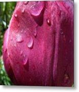 Tulip After The Rain Metal Print