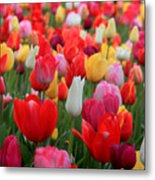 Tulip Color Mix Metal Print
