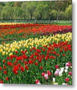 Tulip Fields Metal Print