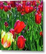 Tulip Garden In Bloom Metal Print