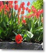 Tulipes Tulipe Metal Print