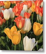 Tulips Ablaze With Color Metal Print