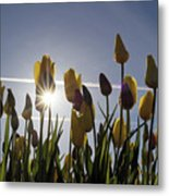 Tulips Blooming With Sun Star Burst Metal Print