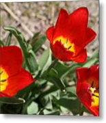Tulips In Bloom Metal Print