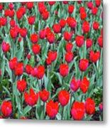 Tulips In Kristiansund, Norway Metal Print