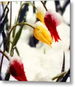 Tulips In The Snow Metal Print