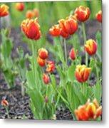 Tulips In The Springtime Metal Print