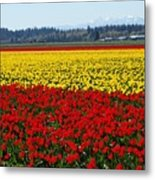 Tulips Of The Skagit Valley Metal Print