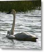 Tundra Swan And Signets Metal Print
