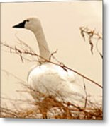 Tundra Swan Metal Print